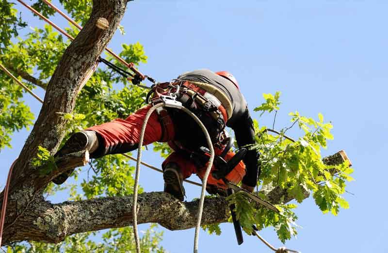 Prix d'élagage d'un arbre de 15 à 20 m