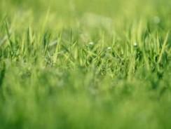 Comment désherber une pelouse ?